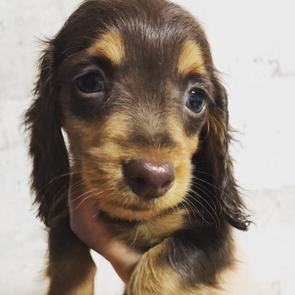 販売中の子犬情報✩.*˚2019.10.23現在
