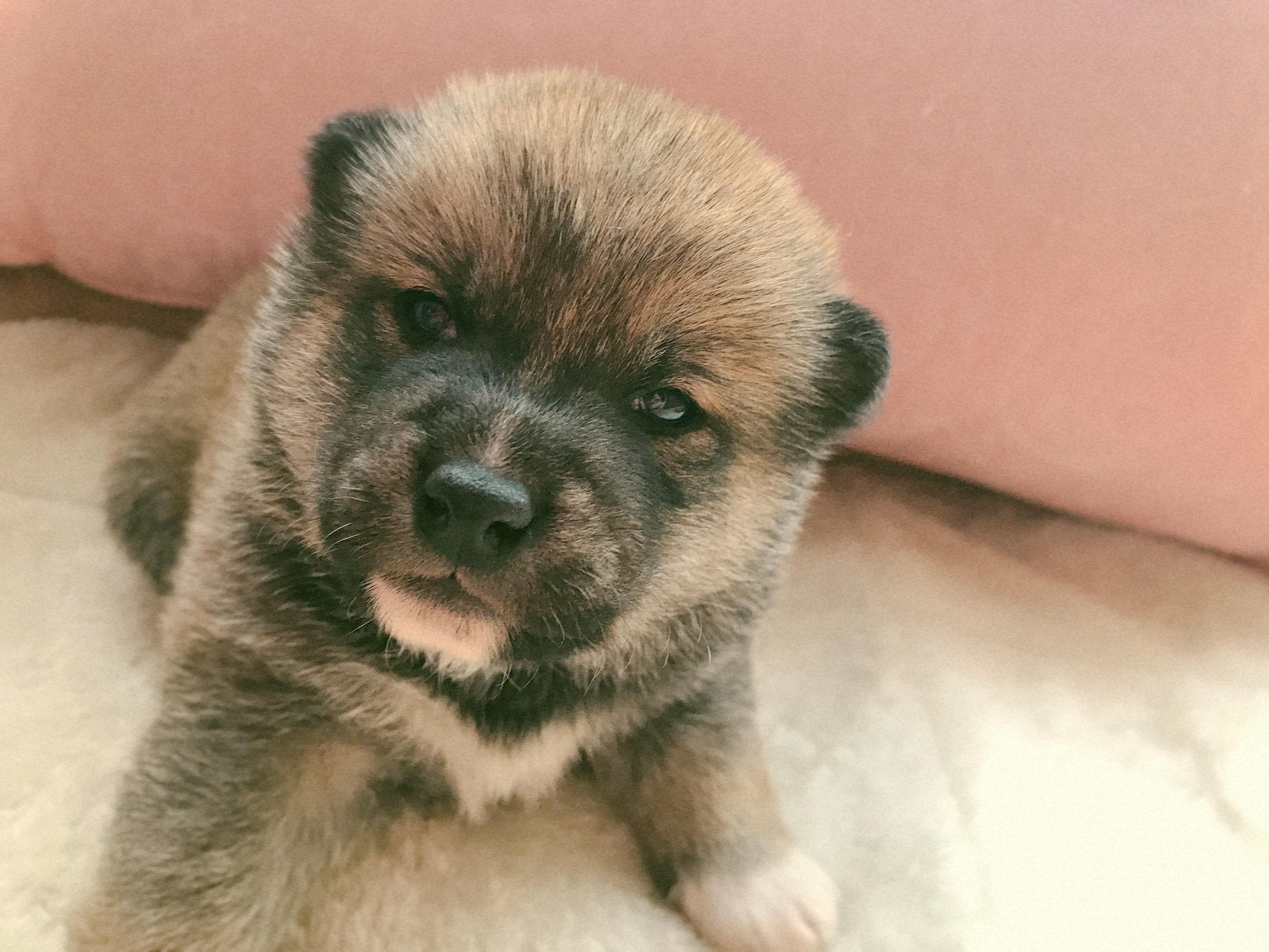 柴犬の赤ちゃん生まれてます。