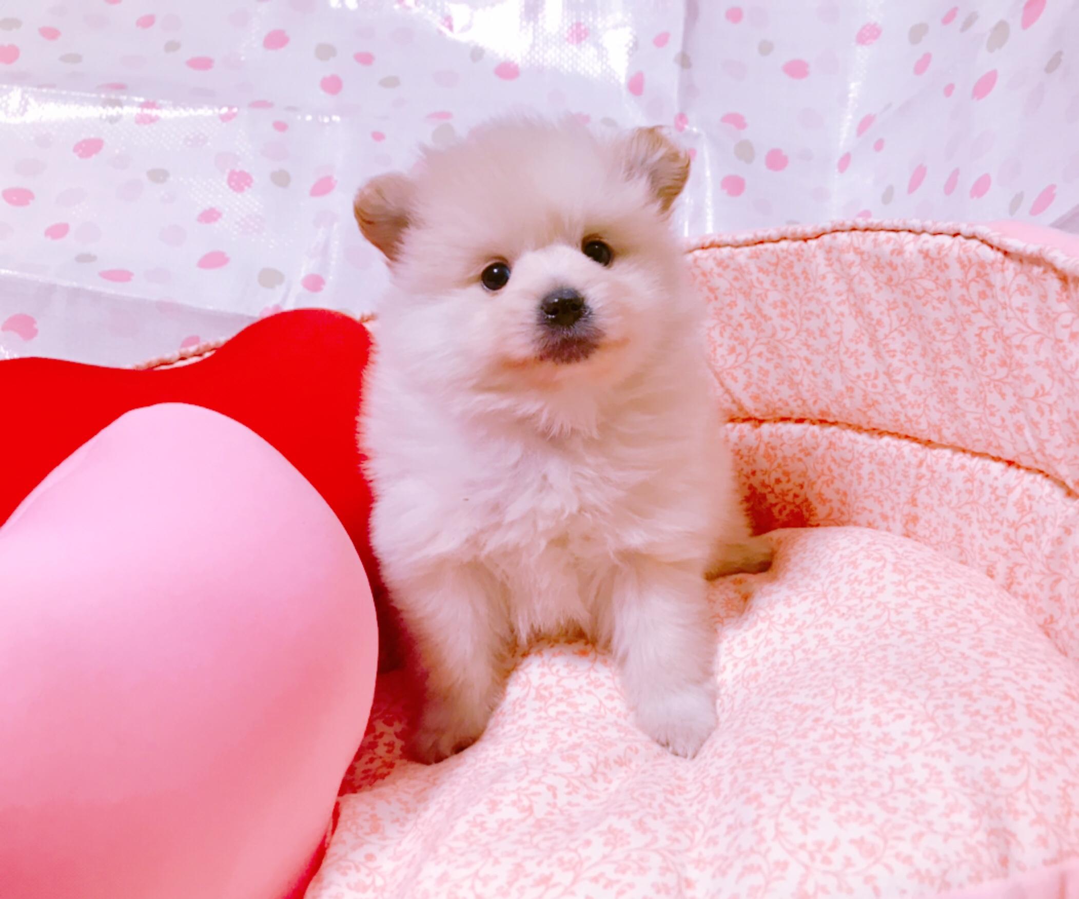 売約済★ポメラニアン男の子2019.1.1生